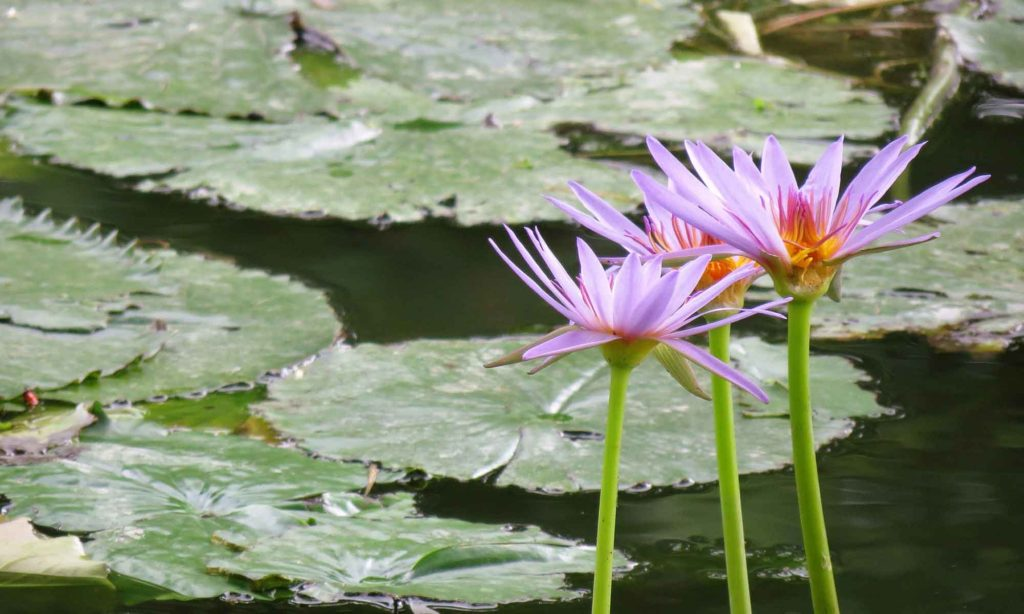 Water garden lilies tropical